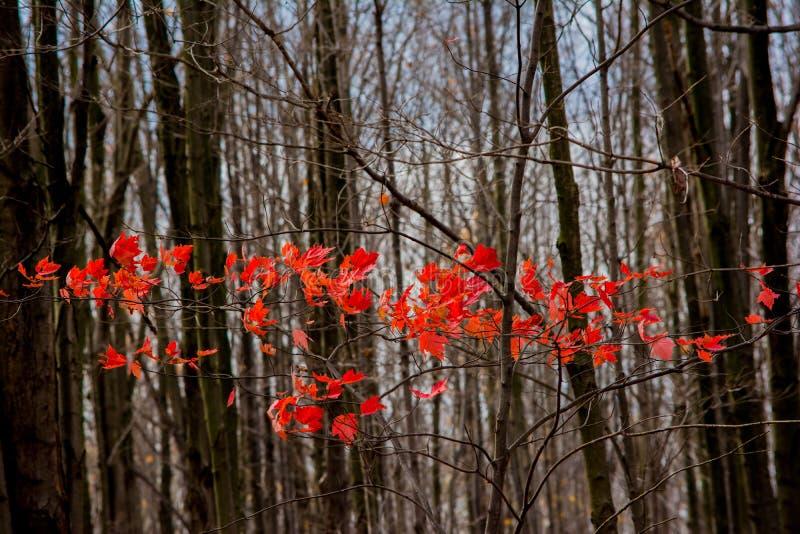 Листья красного цвета стоковое изображение
