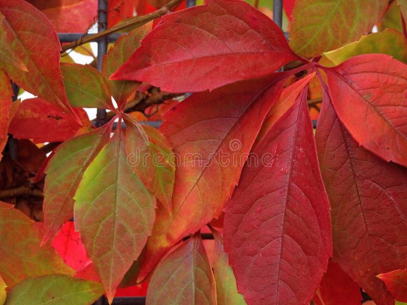 Листья красного цвета creeper Вирджинии на падении стоковое фото