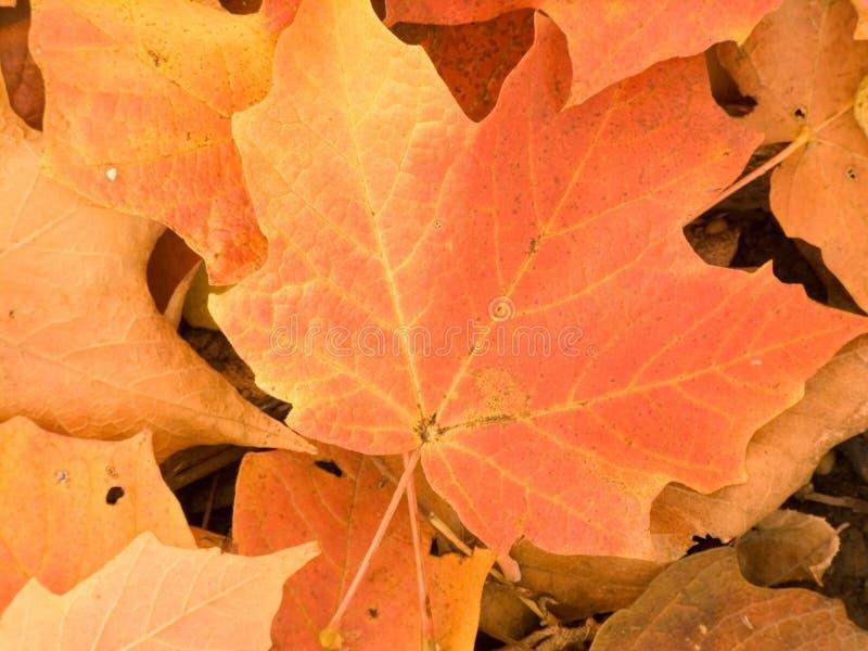 Download листья крупного плана осени Стоковое Фото - изображение насчитывающей вены, форма: 6865690
