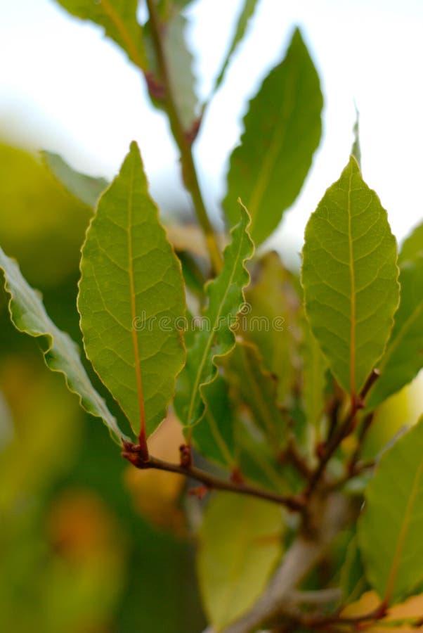 листья лавра ветви стоковое фото rf