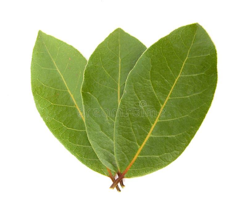 листья лавра залива стоковая фотография rf