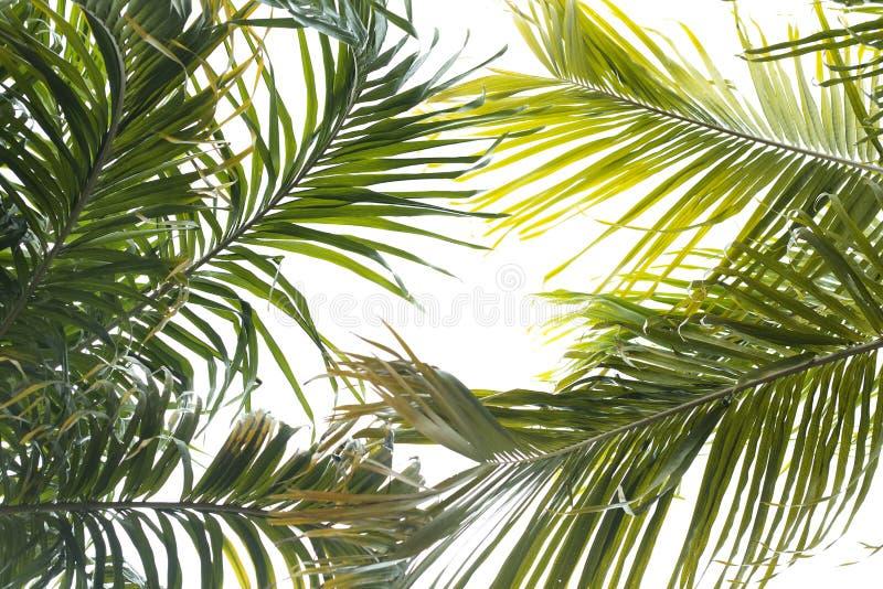 Листья ладони изолированные на белой предпосылке стоковая фотография rf