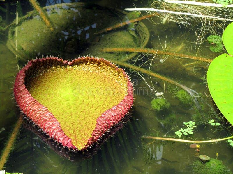 Листья лилии воды Виктория Regia стоковая фотография