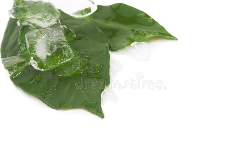 листья льда стоковое изображение rf