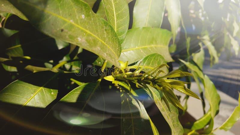 Листья манго впереди сезона сбора стоковые фотографии rf