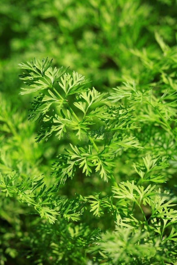 листья моркови стоковое изображение