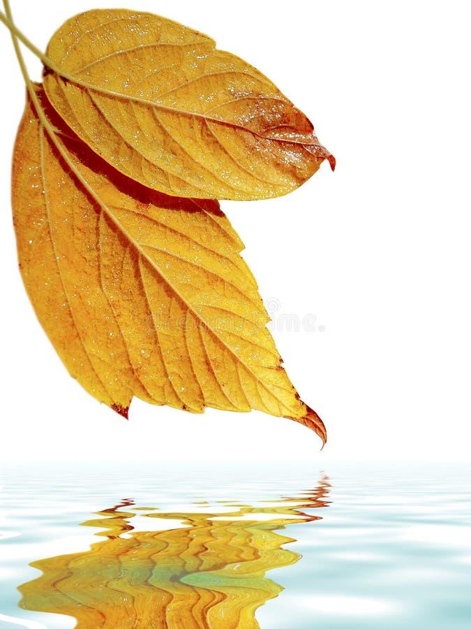 листья над водой стоковая фотография rf