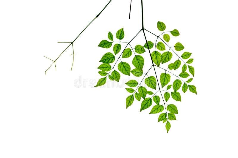 Листья на белой предпосылке стоковая фотография