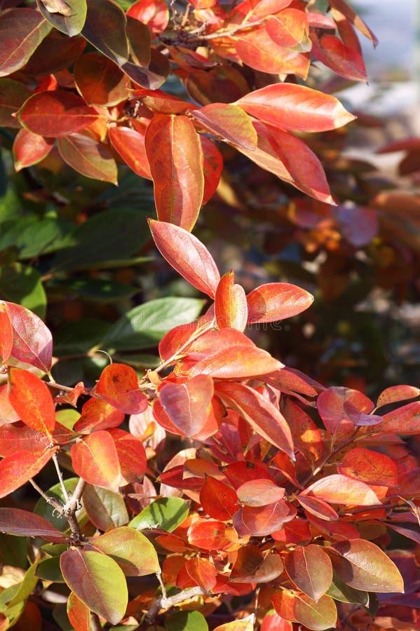 Листья на дереве хурмы в осени стоковое изображение rf