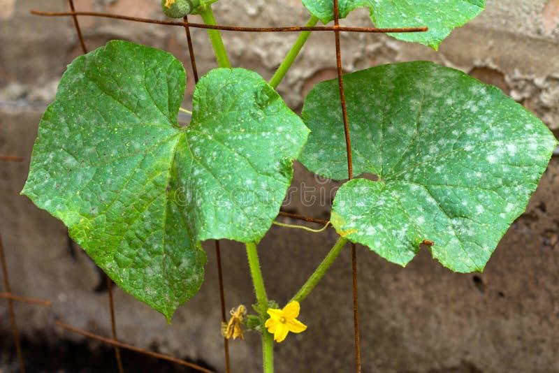 Листья огурца с белым пороховидным mildew Болезнь растения стоковые фотографии rf