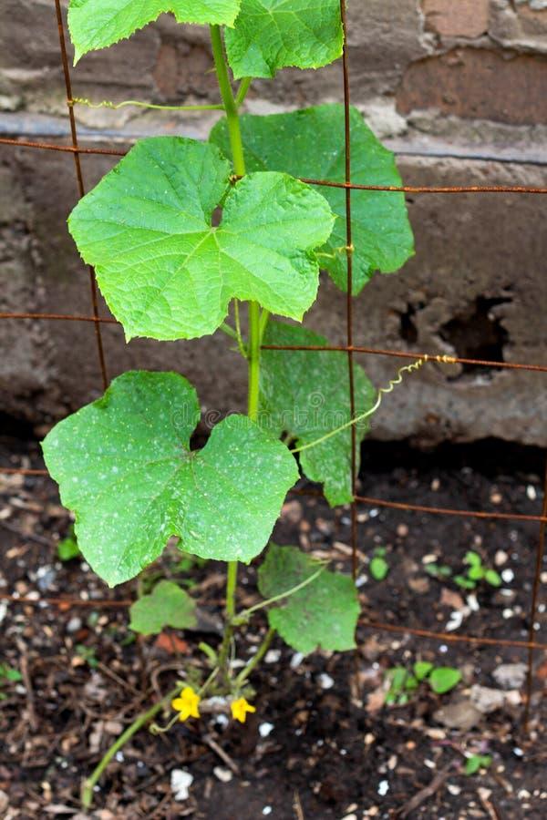 Листья огурца с белым пороховидным mildew стоковые изображения