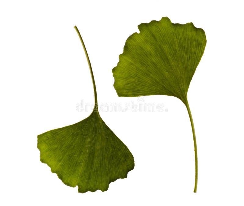листья одно 2 ginkgo biloba стоковая фотография