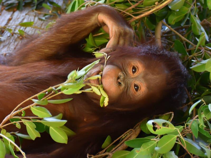 Листья орангутана младенца заботя в рте стоковая фотография