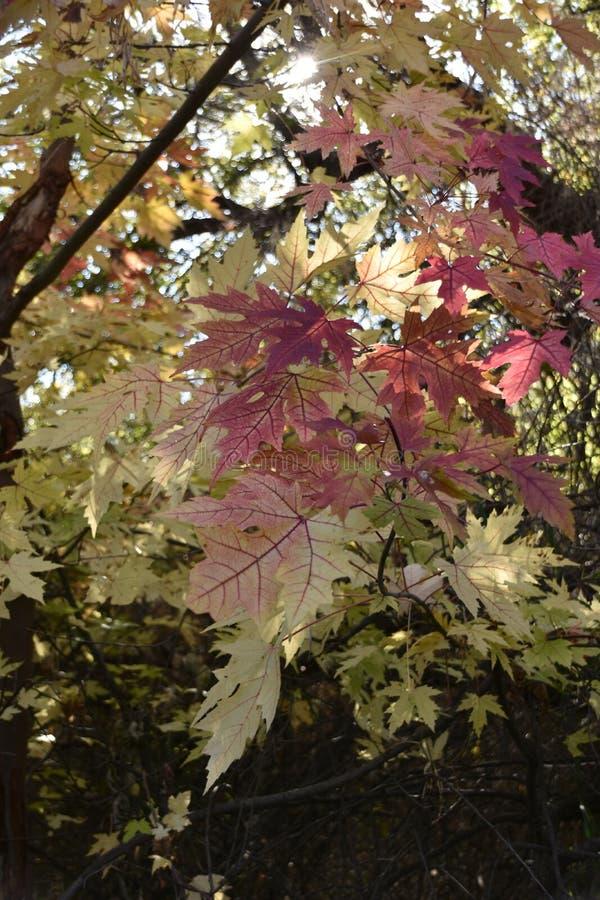 Листья осени вверх закрывают запас Chamna, Richland, WA стоковая фотография rf