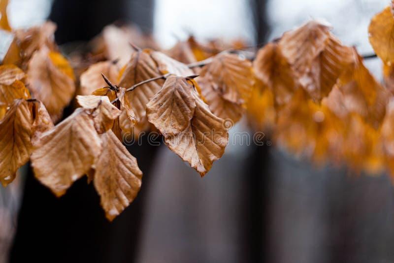 Листья осени вися на ветви после дождя стоковая фотография rf