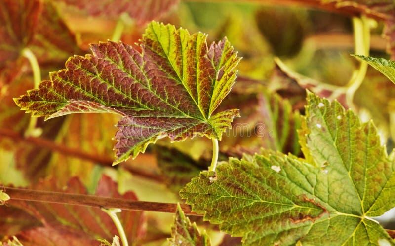 Листья осени дерева blackcurrant стоковое фото rf