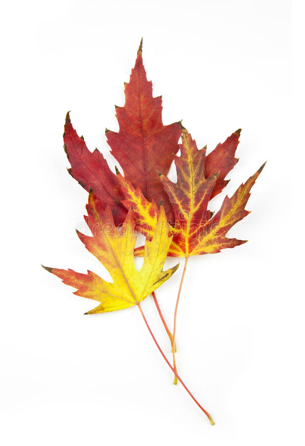 листья осени красивейшие изолированные белые стоковые изображения