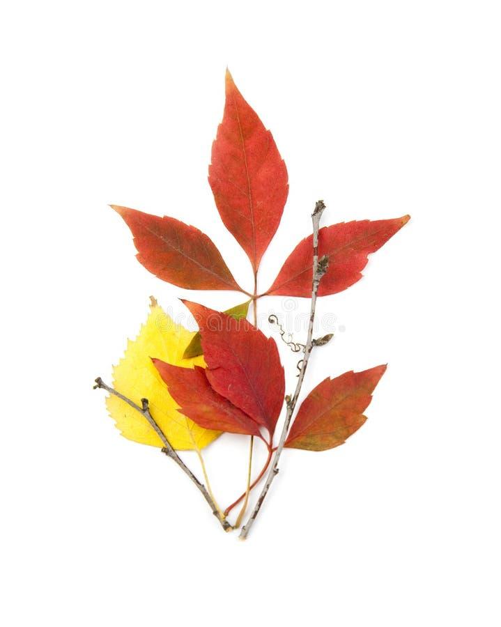 листья осени красивейшие изолированные белые стоковые фотографии rf