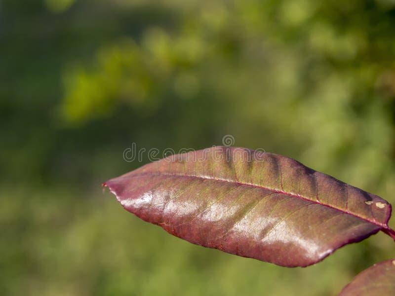 Листья осени на деревьях изменяют цвет Высушенные лист дерева с красным цветом и запачкать зеленую предпосылку стоковые фотографии rf