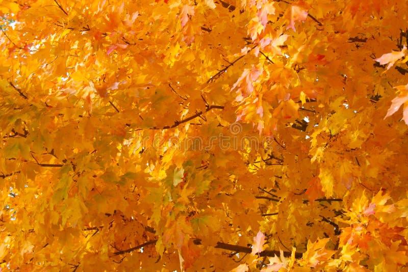 Листья осени оранжевого красного цвета и желтого цвета или греют цвета падения стоковое изображение
