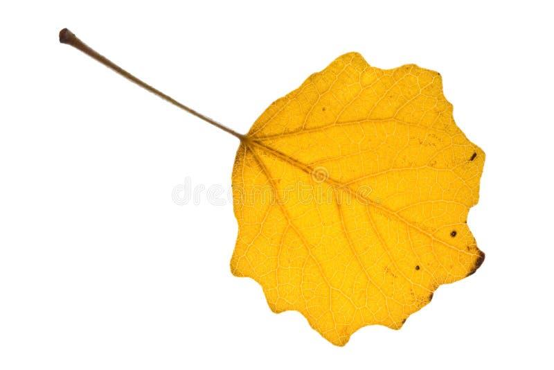 листья осени осины стоковая фотография rf