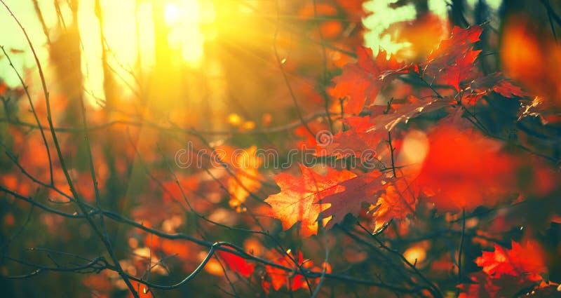 Листья осени предпосылка, фон Ландшафт, листья отбрасывая в дереве в осеннем парке падение Дубы с цветастыми листьями стоковое изображение rf