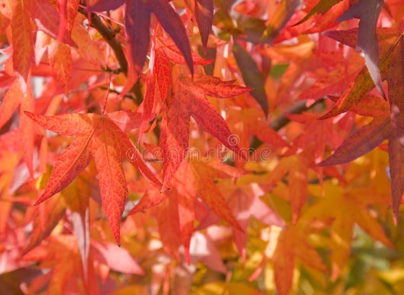 листья осени яркие красные стоковое фото rf