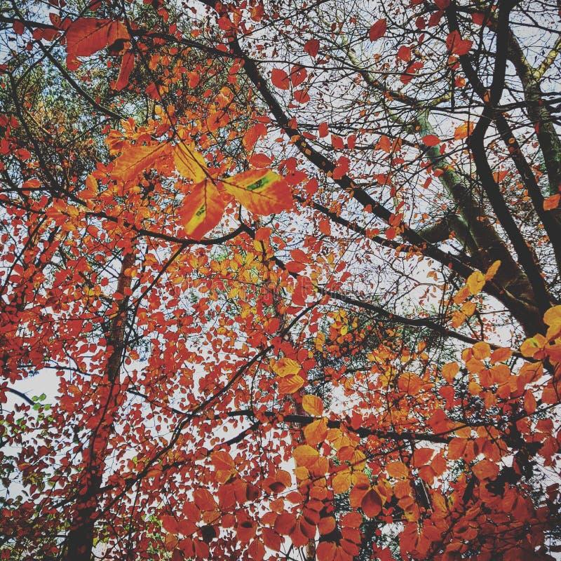 Листья осени Firey стоковые изображения rf