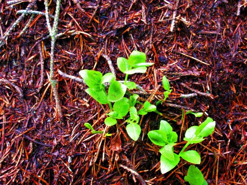 Листья от ягоды льва вырасти хорошо в anthill стоковое изображение rf