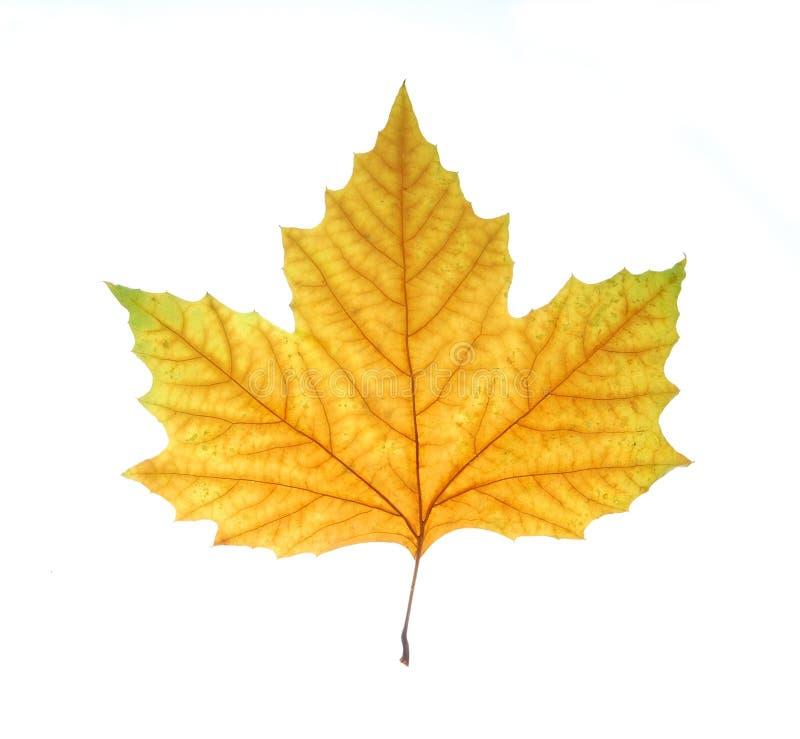листья падения одиночные стоковые изображения