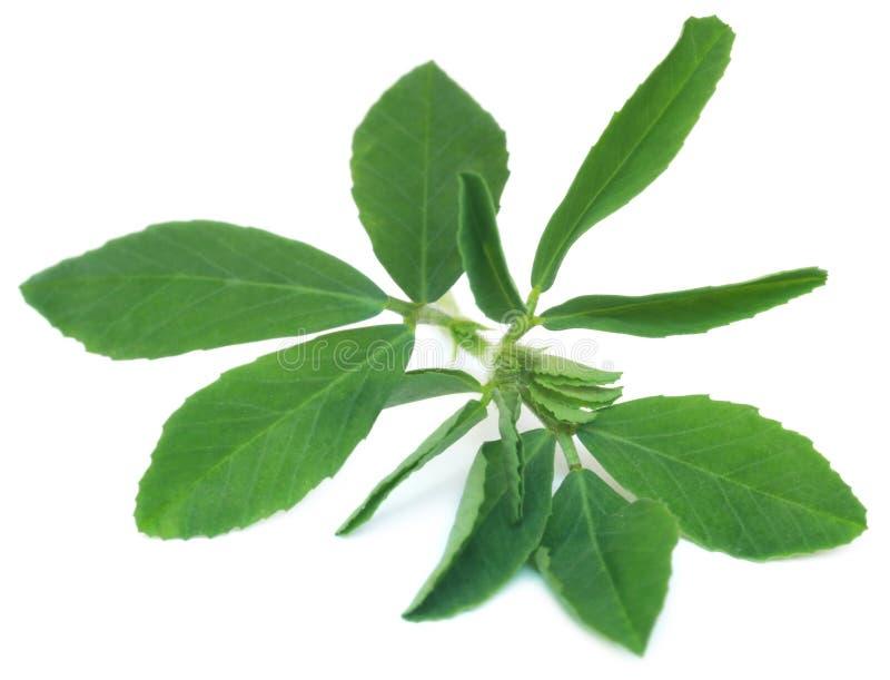 Листья пажитника Ayurvedic стоковое фото rf