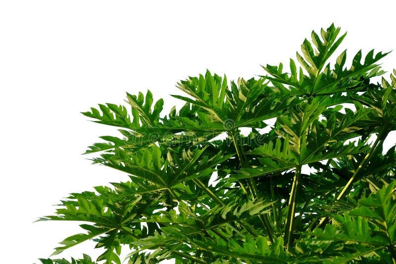 Листья папапайи с ветвями на белой изолированной предпосылке для зеленого фона листвы стоковое фото