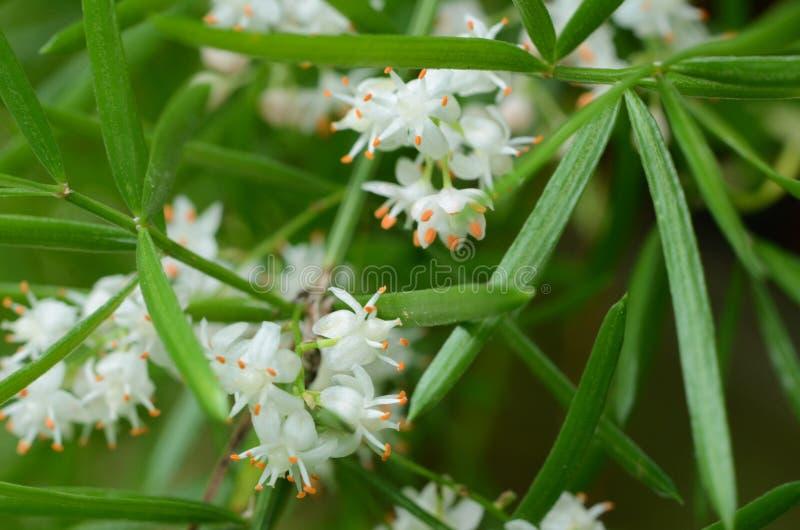 Листья папоротника спаржи и крошечные белые цветки стоковые изображения