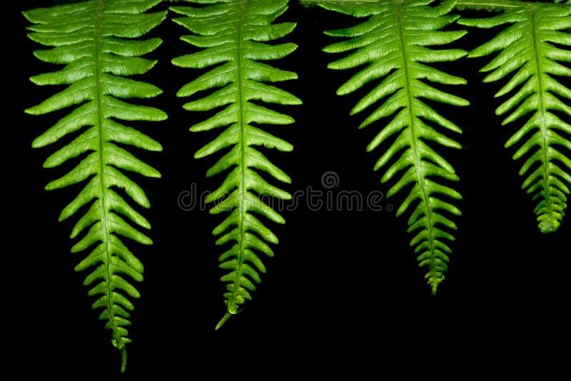 листья папоротника 4 стоковые изображения rf