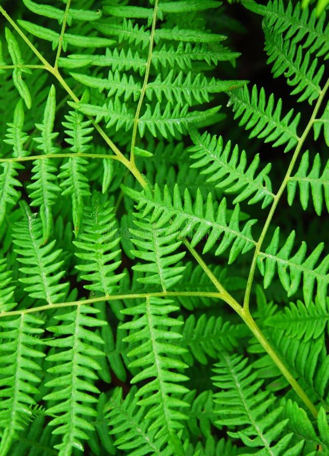 листья папоротника стоковая фотография
