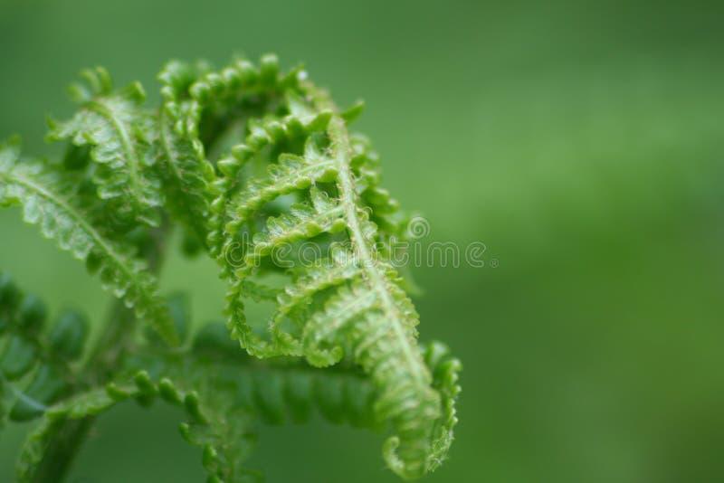 листья папоротника стоковые изображения