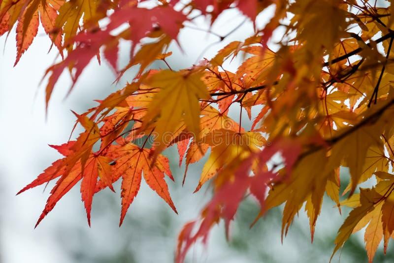 Листья падения в цветах wonderfull апельсин-коричневых-redish стоковое изображение rf