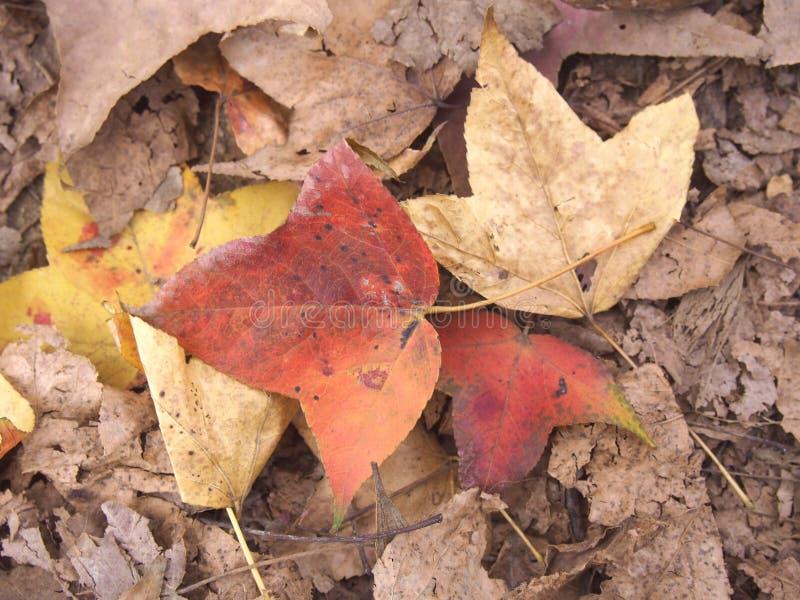 Листья падения красные и желтые от дерева стоковые изображения rf