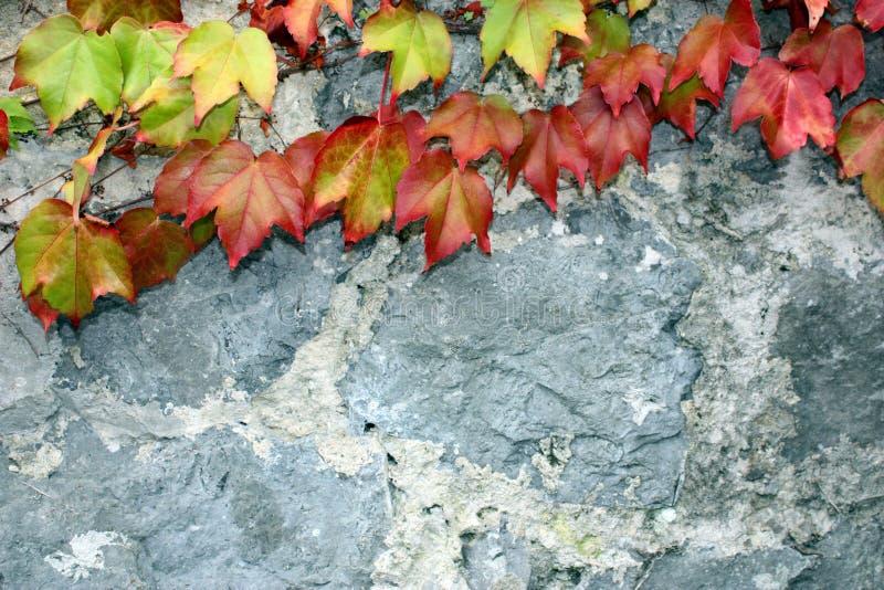 Листья плюща осени стоковое изображение rf