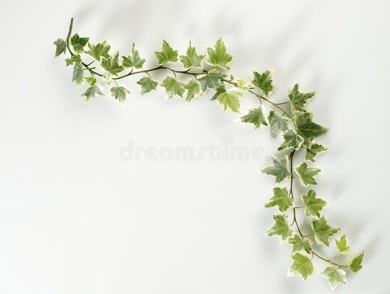 листья плюща стоковые фото
