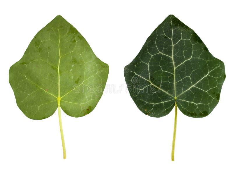 Листья плюща стоковое изображение rf