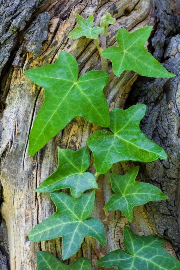 листья плюща стоковые изображения rf