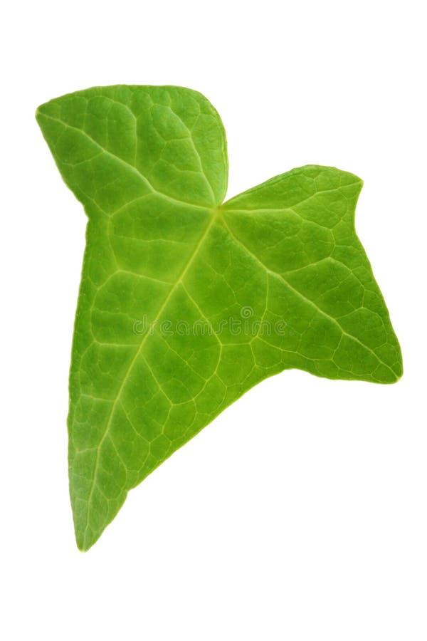 листья плюща стоковое фото rf