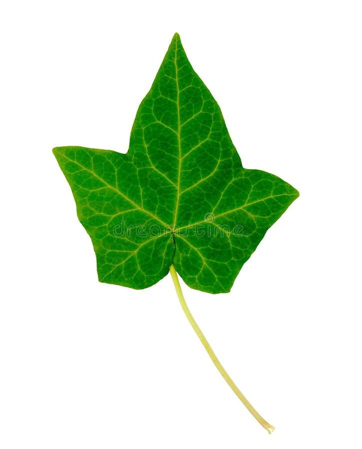 листья плюща стоковые изображения