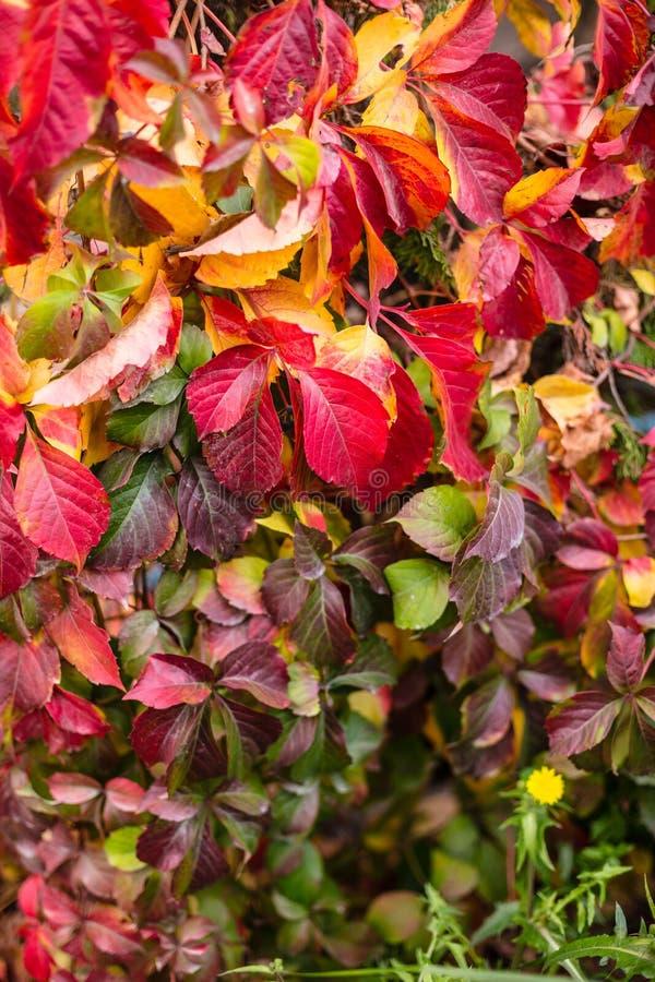 Листья поворачивали красный цвет во время немного недель в сезоне осени, конец вверх по взгляду английского плюща, с желтым одува стоковые фотографии rf