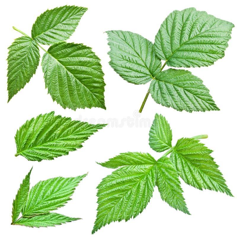 Листья поленик. стоковое изображение