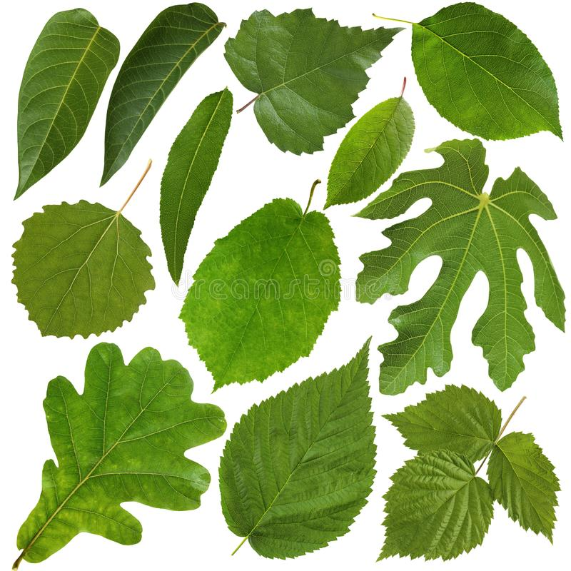 листья предпосылки зеленые изолированные белые Гербарий стоковые фотографии rf
