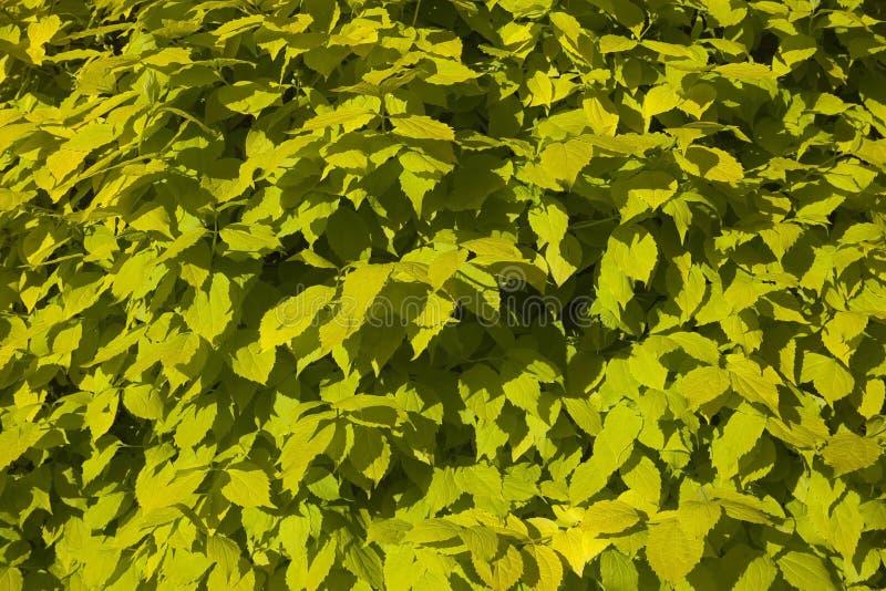 Download Листья предпосылки Aurea Philadelphus Стоковое Фото - изображение насчитывающей shrubs, садоводство: 40578880