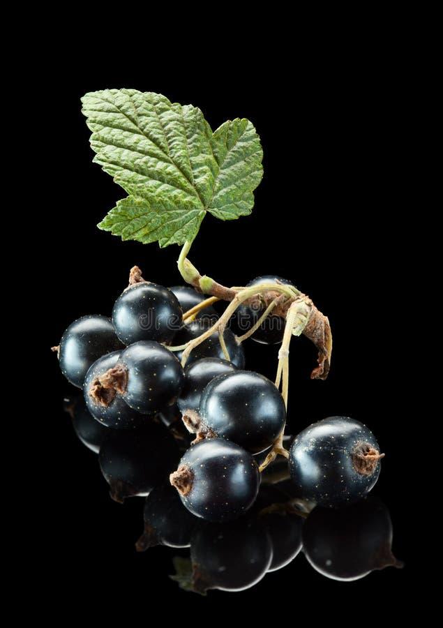 листья пука blackcurrant стоковое фото rf