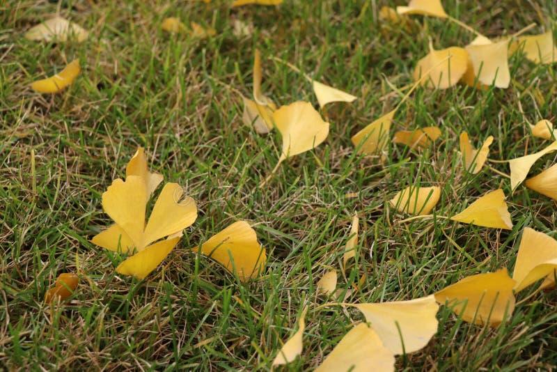 Листья разбросанного дерева гинкго на лужайке стоковое изображение rf